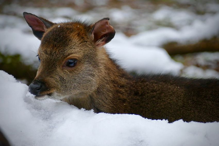 Animal Themes Animal Wildlife Animals In The Wild Close-up Cold Temperature Day Domestic Animals Mammal Nature No People One Animal Outdoors Portrait Snow Winter Shades Of Winter EyeEmNewHere