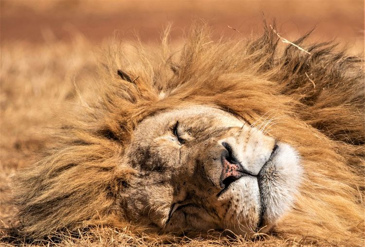 Close-Up Of Lion Sleeping On Field