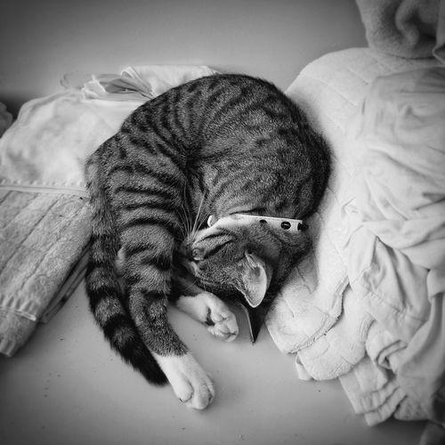 Pet Portraits Domestic Cat Cat