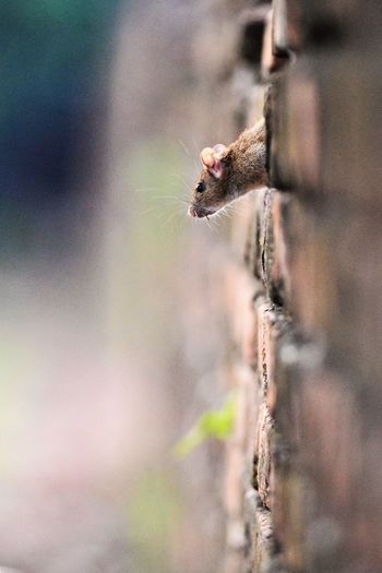 Close-up of rat amidst brick wall