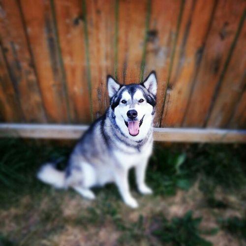 Happy Friday! Alaskan Malamute AlsakanMalamute Dog Pet Summer Happy