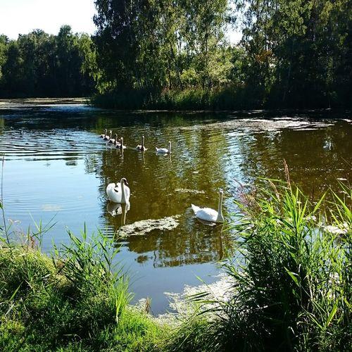 Swan Swans Family Swan Lake Lake Beautiful Nature Nature Swimming Elegance Everywhere Idyll