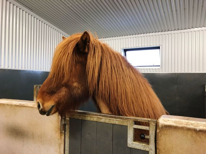 Icelandic Horse Iceland Horse EyeEm Selects Indoors  Animal Themes Animal Mammal No People Day One Animal Brown Vertebrate Domestic Stable Pets Domestic Animals