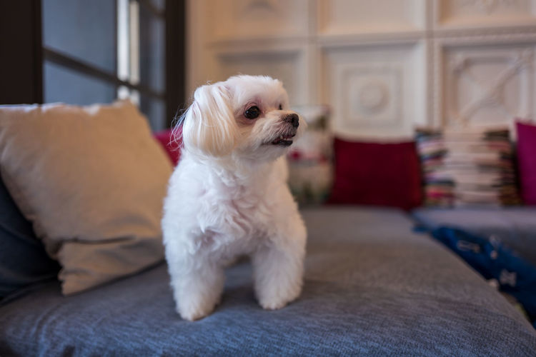 White Dog Looking Away While Standing On Couch At Home