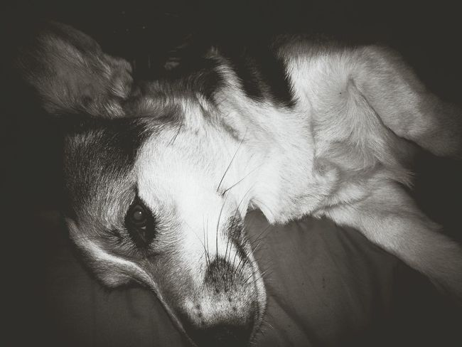 Pembrokewelshcorgi I Love My Dog