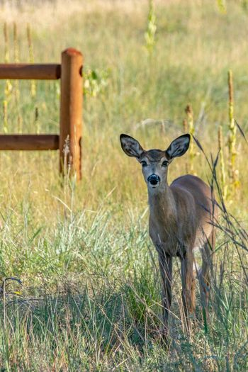 Looking Back Deer Doe Animal Themes Animal Animal Wildlife Plant One Animal Grass Animals In The Wild Looking At Camera Field Nature Outdoors