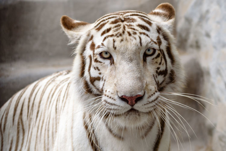 Close-up portrait of white tiger at zoo