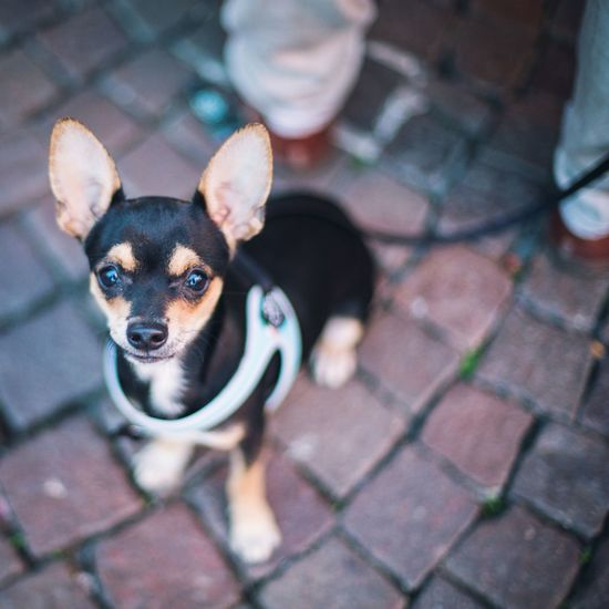 Small dog, big ears. Pet Portraits Cute Pets Cute Dogs Dog Love Dogs Of EyeEm Pet Photography  Dog Pets Domestic Animals Animal Themes Looking At Camera No People One Animal Puppy Outdoors