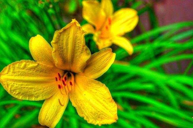 Flower Head Flower Day Lily Beauty Yellow Springtime Petal Botanical Garden Multi Colored Stamen