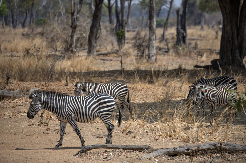 View of a zebra
