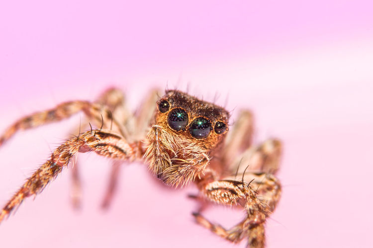 Jumping spider on pink table