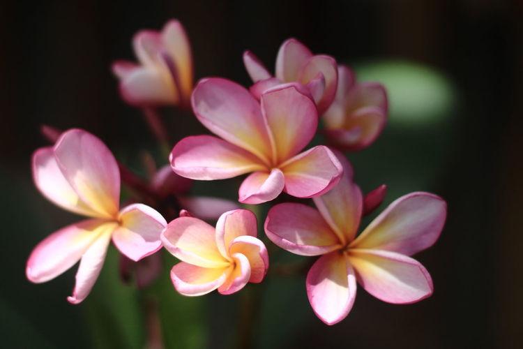 Close-up of pink frangipani flowers