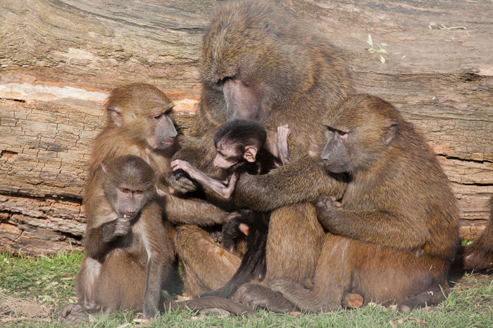 Family of baboons in Knowsley Safari Park Baboon Baboons Baby Family Group Portrait Mammal Mother Mother And Child Mother And Children Nature Nature Photography Pensive Together Togetherness Wildlife Wildlife & Nature Wildlife Photography Zoology