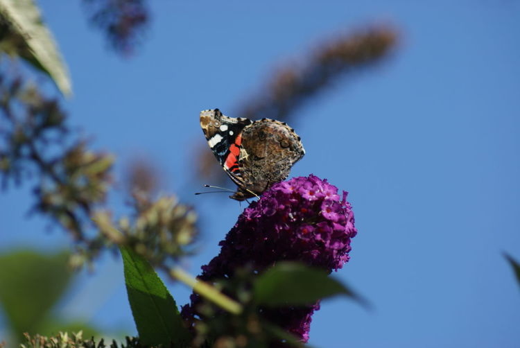 Red Admiral on buddleia in garden Beauty In Nature Buddleia Butterfly Close-up Day Fragility Growth Nature Outdoors Red Admiral Butterfly Selective Focus Summer