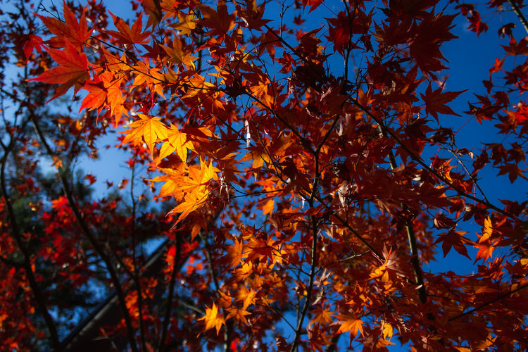 EyeEmNewHere Japan Travel Autumn Autumn Collection Beauty In Nature Branch Change Leaf Light And Shadow Low Angle View Maple Leaf Maple Tree Natural Condition Nature No People Orange Color Plant Plant Part Travel Destinations Tree
