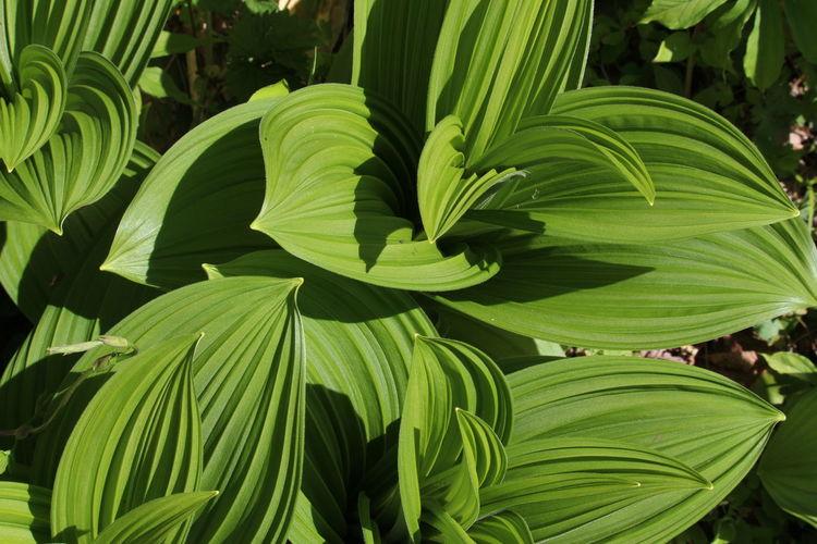 撮って良いけど採ってはダメ⚠バイケイソウ(梅蕙草) Beauty In Nature Poison EyeEm Gallery Taking Photos EyeEm Nature Lover Nature Green Color Green Nature おつかれさま~😆
