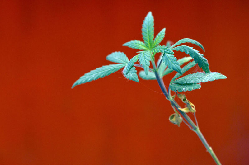 Close-up of plant against red background