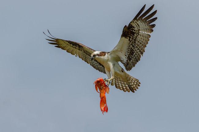 Animal Wildlife Bird Bird In Flight Bird Of Prey Nature Osprey  Ospreys