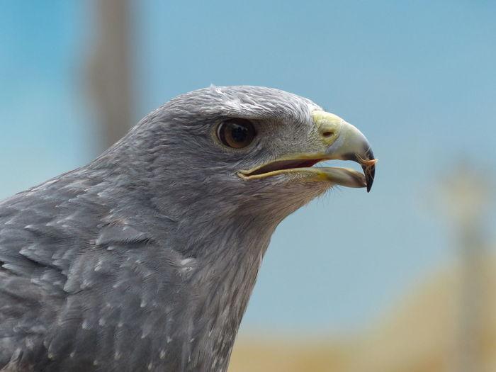 Headshot of gray hawk