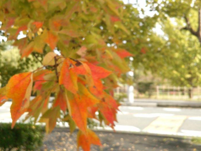 Autumn Tree Leaf Walking Around Beauty In Nature Nature Change Color Beautiful ♥ EyeEm Best Shots Japan
