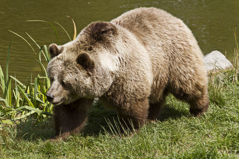 Brown Bear in Poing Animal Animal Head  Animal Themes Beauty In Nature Brown Bear Day Europe Grass Grassy Green Color Lake Lakeshore Mammal Nature No People Outdoors Poing Relaxation Water Wild Animal