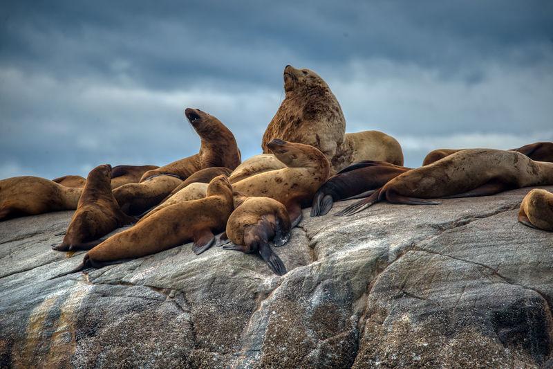 Sea lions, johnstone strait, canada