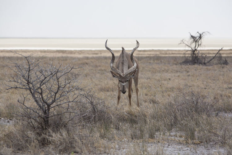Greater kudu standing on field against sky