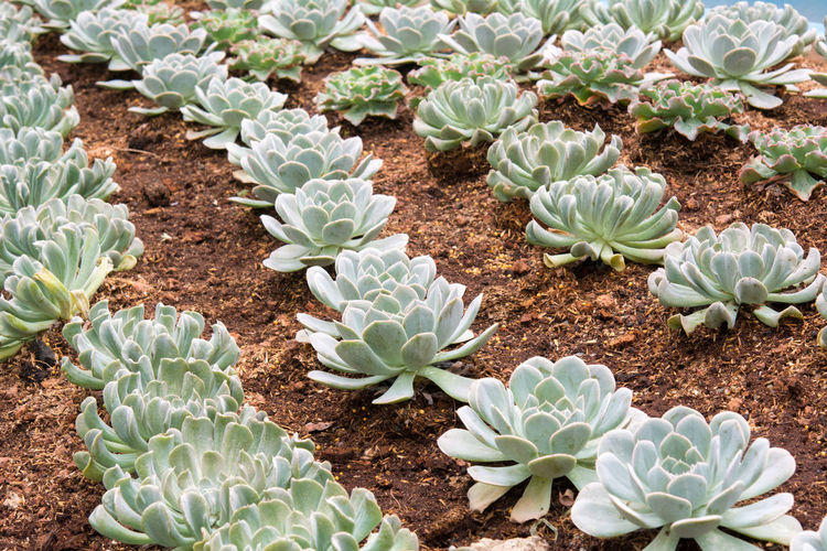 High angle view of succulent plant growing on field