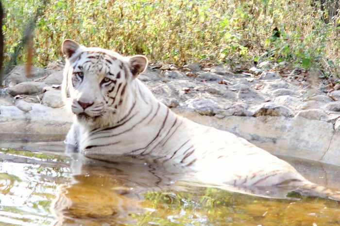 Looking At Camera White Tiger Indian Tiger Tiger Wildlife Wildlife Photography Wildlife & Nature Relaxing Animals In The Wild Animal Themes One Animal No People