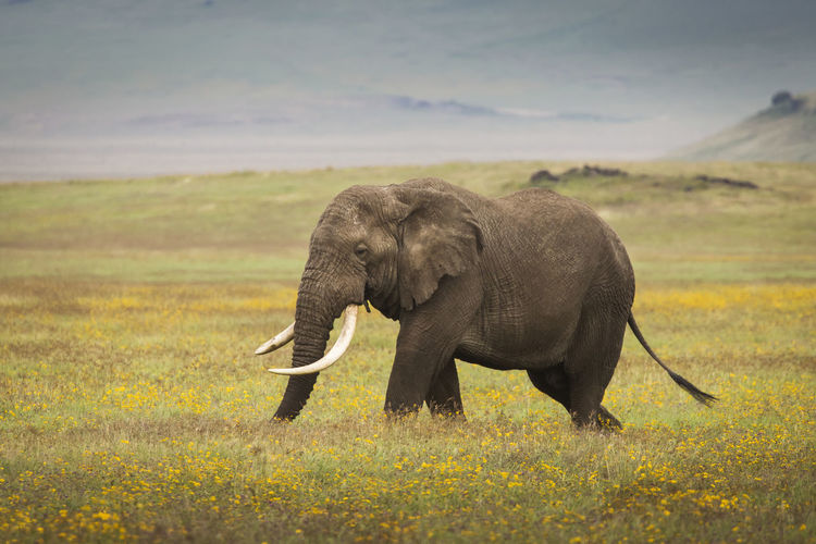 Elephant in a field
