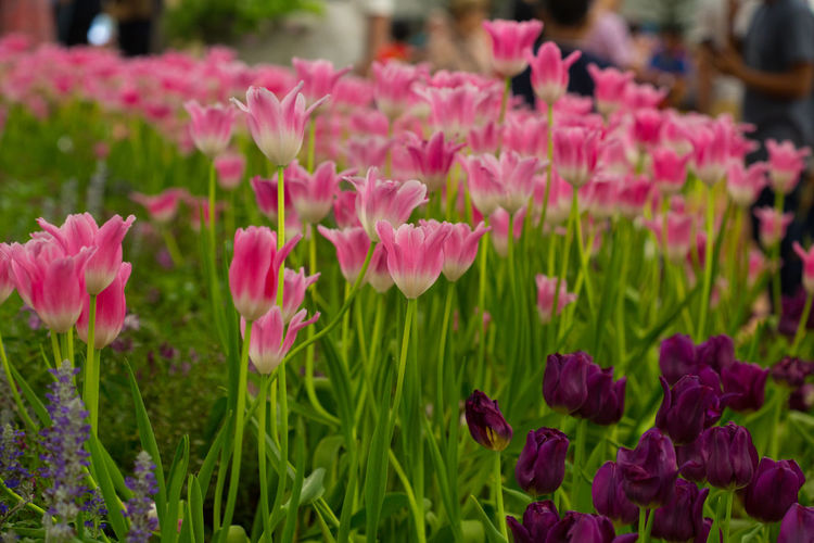 Tulips🌷 Flower Flowering Plant Plant Beauty In Nature Freshness Vulnerability  Fragility Pink Color Growth Petal Close-up Flower Head No People Nature Inflorescence Day Multi Colored Green Color Botany Outdoors Flowerbed Purple Gardening