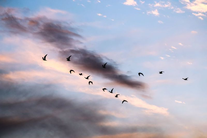 Low angle view of silhouette birds flying in sky at sunset