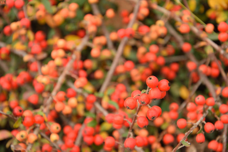 Red fruits of the cotoneaster in the autumn season Cotoneaster Cotoneaster Berries Growth Freshness Plant Beauty In Nature Vulnerability  Close-up Day Red No People Selective Focus Nature Focus On Foreground Outdoors Fruit EyeEmNewHere