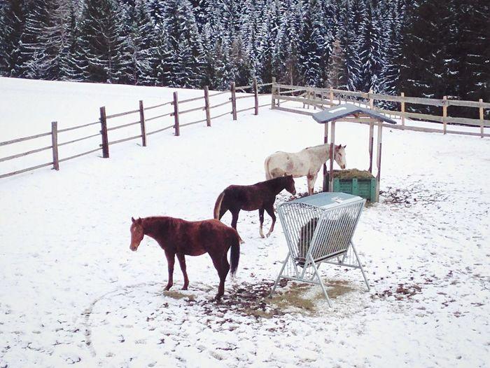 Horse Horses Snow Snowing Winter Wintertime White Welschnofen Landscape Nature Südtirol Italy Animal Themes Nova Levante