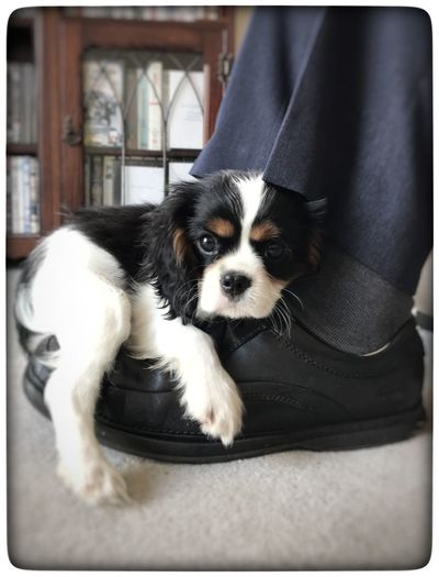 I are comfy Dog Puppy Puppy Love ❤ King Charles Cavalier