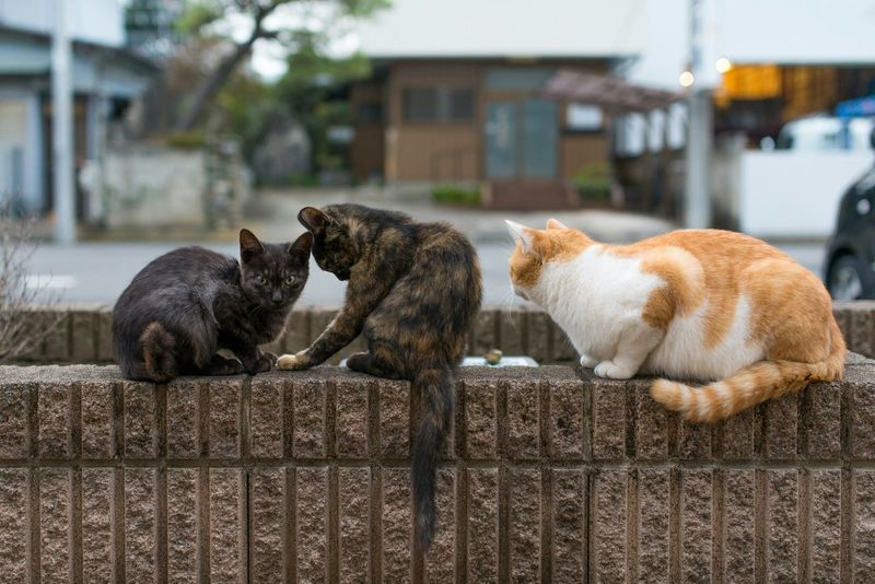 all lined up Cats Cat TabbyCat ねこ 猫 Calicocat 三毛猫