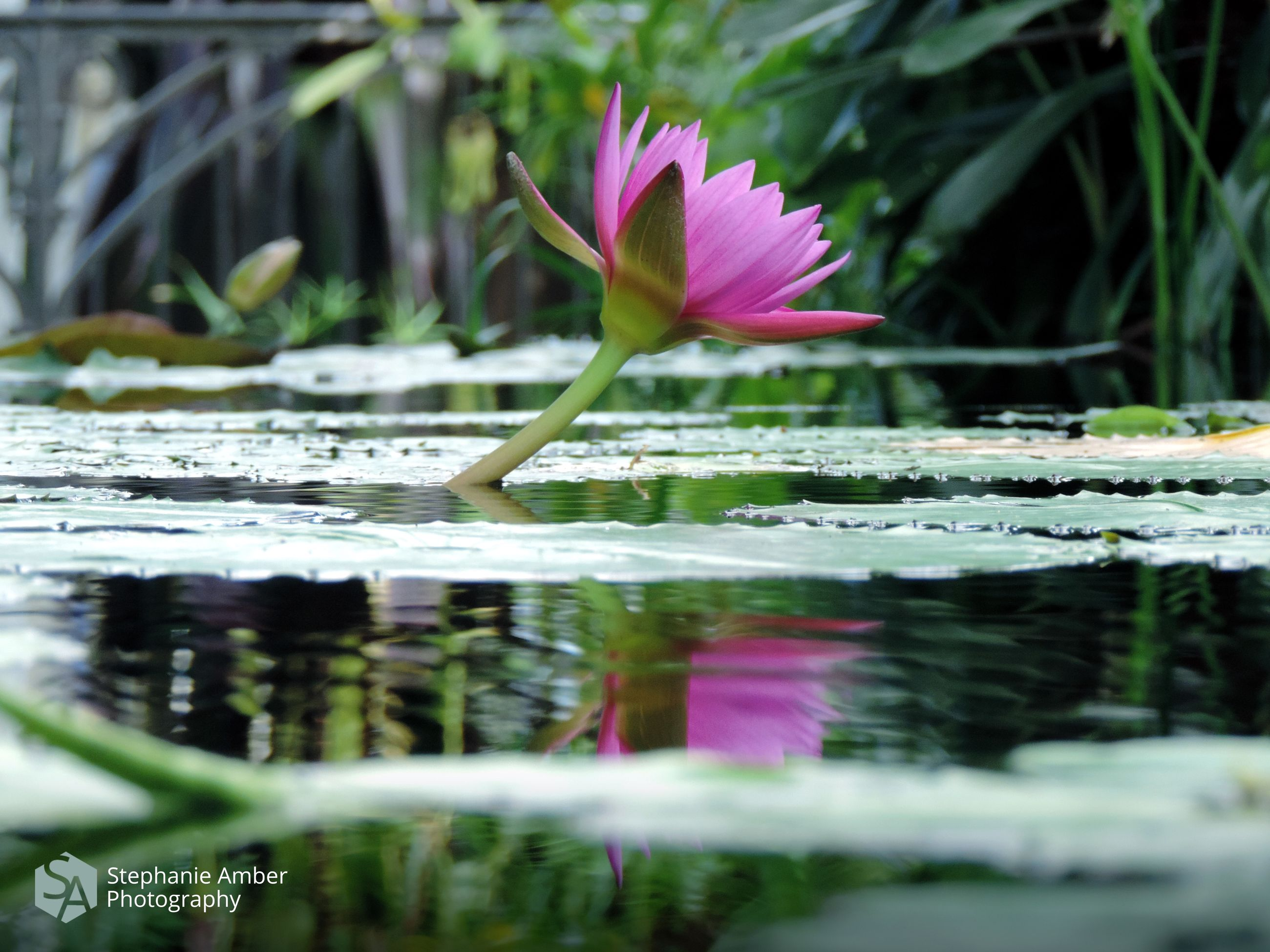 plant, flower, beauty in nature, flowering plant, freshness, growth, vulnerability, fragility, lake, water, nature, water lily, selective focus, close-up, pink color, leaf, reflection, petal, day, no people, flower head, outdoors, purple, floating on water, lotus water lily, purity