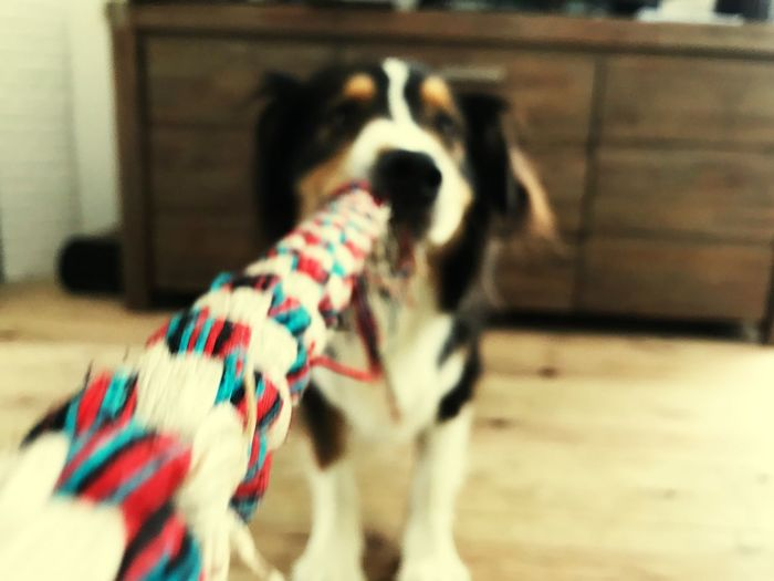 Too fast for photos Home Made Rope Play Burry Dog Playing Australian Shepherd  Mammal Pets Domestic Domestic Animals One Animal Vertebrate Canine Dog Focus On Foreground Selective Focus Indoors  No People Day Close-up Animal Body Part