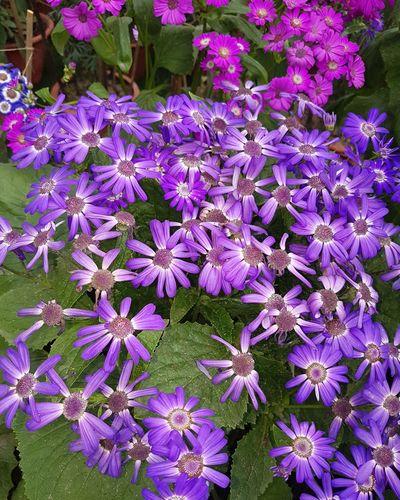 violet as