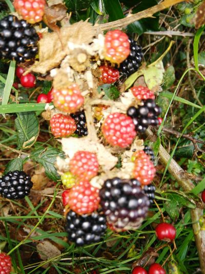 Fruit Growth Freshness Nature No People Healthy Eating Close-up Beauty In Nature Blackberry - Fruit Red Day Outdoors
