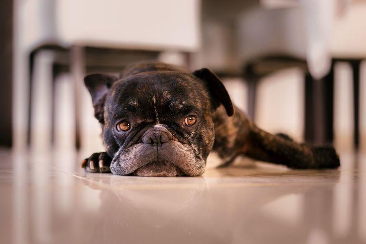 Close-up portrait of black dog at home