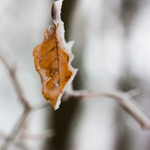 Close-up of dried leaf on snow