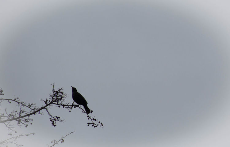 Animal Themes Animal Wildlife Animals In The Wild Bird Black Bird Branches And Sky Crow Day Low Angle View Nature No People Outdoors Perching Raven - Bird Simplistic Sky Tree