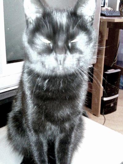адское котейко