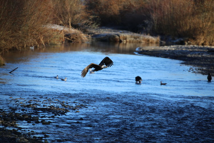 Bald eagle flying over river