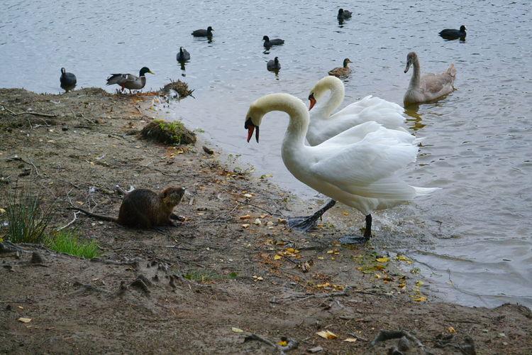 Coypu and birds at lake