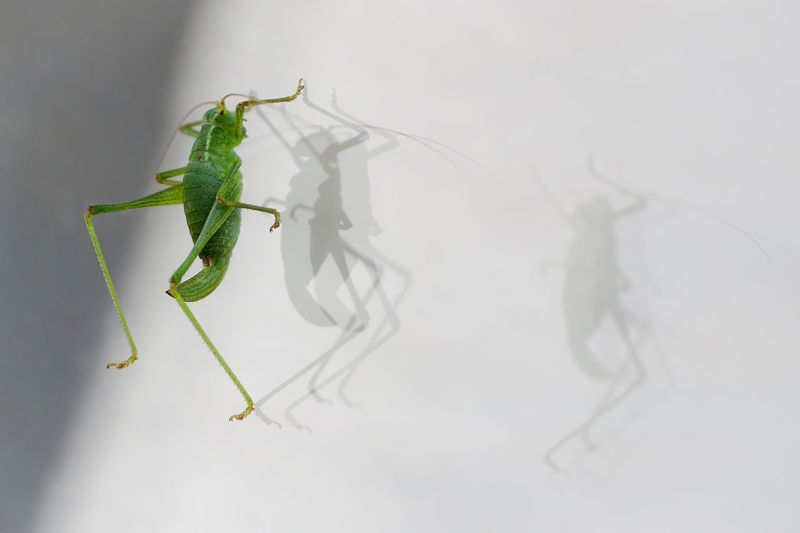 Dancing crickets Cricket! Crickets Grasshopper Macro Photography Macro Insect Insect Photography Insects  EyeEm Nature Lover EyeEm Gallery Beauty In Nature Eye4photography  Shadow Light And Shadow Details Of Nature Shadows & Lights Shadows
