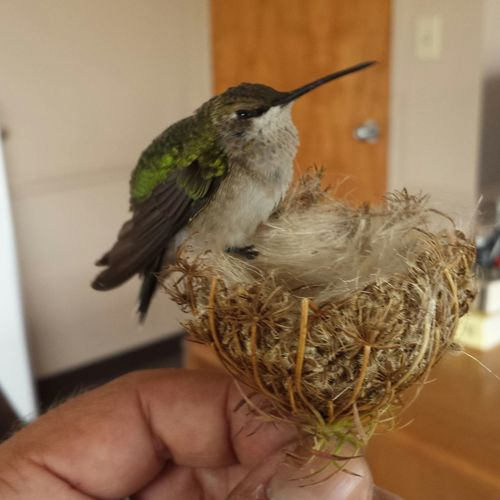 Hummingbird Rescue Baby Hummingbird Bird Hummingbird Wildlife Rescue