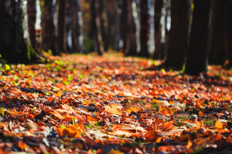 Footpath in the Autumn forest. Fallen leaves on the ground, nature background. Autumn Road Fall Forest Background Nature Landscape Tree Beautiful Season  Red Orange Path Yellow Colorful Sunlight Leaves Park Vibrant Light Leaf Perspective Foliage Street October Trees Stroll Environment Natural Countryside Sunset Scenic Plant Fantasy Wood Beauty In Nature