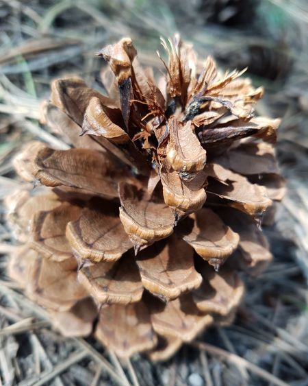 Pine Pinecone Pine Cone Pine Forest Nature Woods Lookout Mountain WoodLand